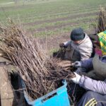Працівники Долинського лісництва проводять посадку лісових культур
