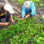 Працівники Долинського лісництва проводять черенкування хвойних та листяних порід