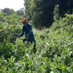 Лісоруби Гурівського лісництва проводять догляди за лісовими культурами на зрубах