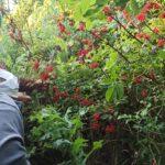 Лісокультурниці Долинського лісництва заготовляють лісове насіння