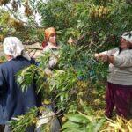 Долинське лісництво продовжує заготівлю лісового насіння