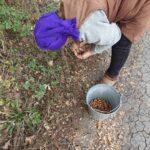 Лісокультурниці Долинського лісництва розпочали заготівлю жолудів